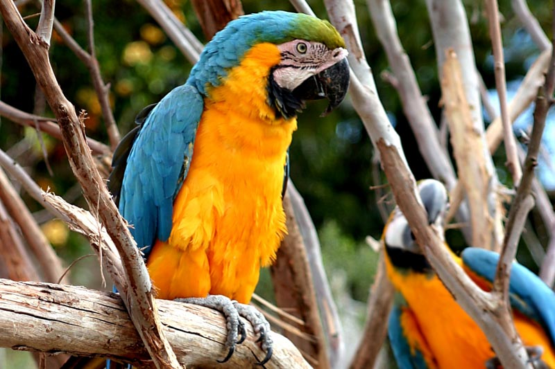 Animals In The Wild, Beauty In Nature, Brazil, Captivity, Coat, Colors, Cute, Feather, Gold And Blue Macaw, Gold Colored, Green Color, Lifestyles, Looking, Macaw, Macro, Multi Colored, Paraguay, Parrot, Pets, Rainforest, Tropical Climate, Tropical Rainforest, Wildlife, Wing, Yellow, animal, bird, blue, large, nature